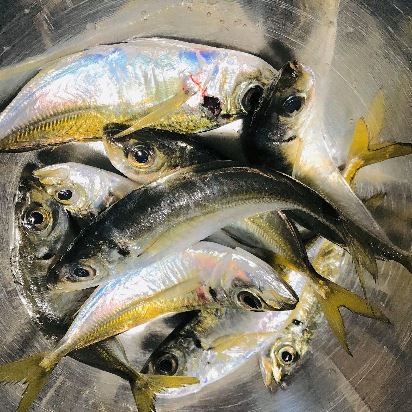 なつきちさんの投稿画像,写っている魚はアジ