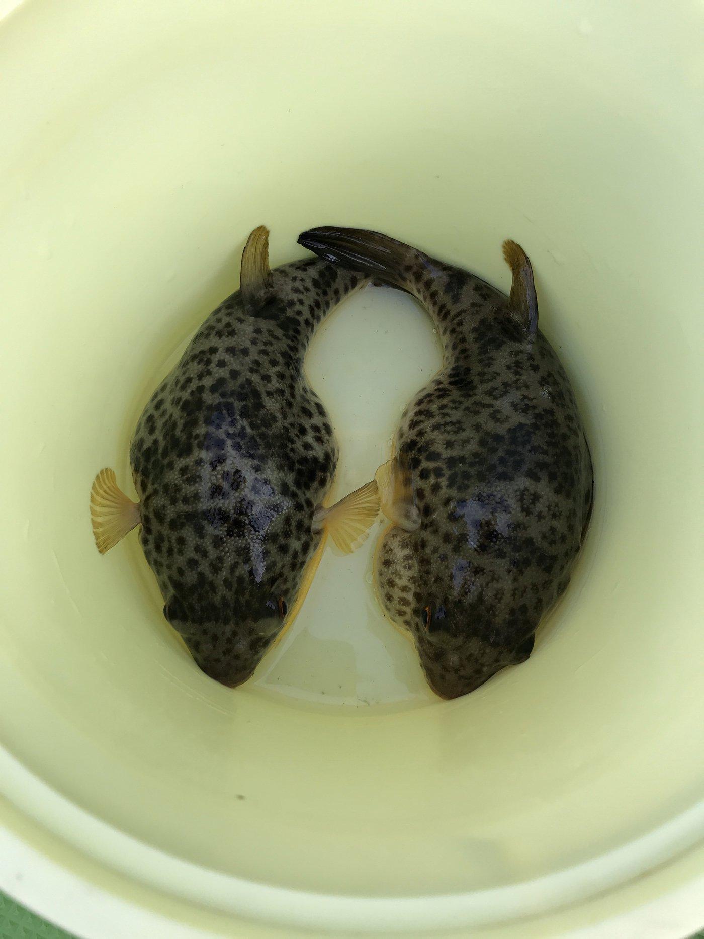 ひでさんの投稿画像,写っている魚はヒガンフグ