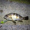 アブさんの兵庫県での釣果写真