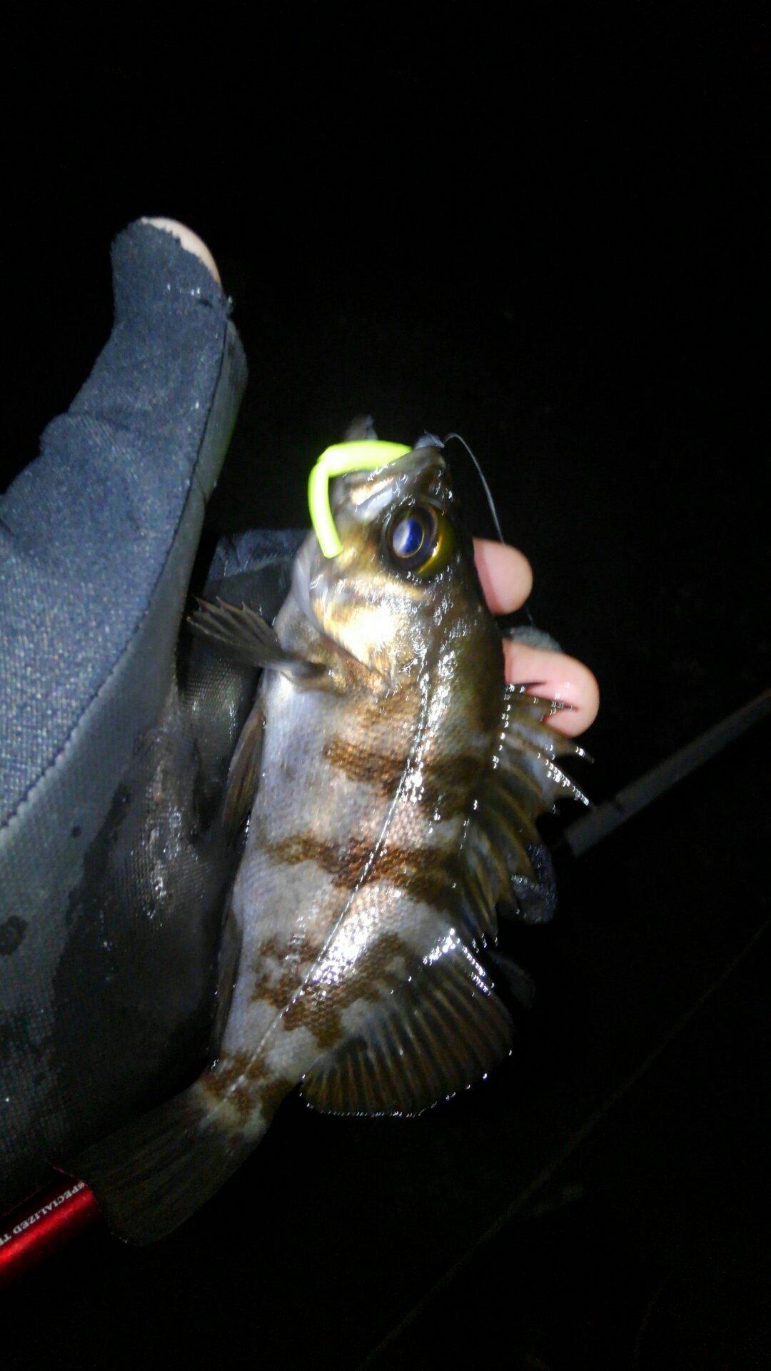 チュウさんの投稿画像,写っている魚はメバル