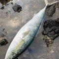 PESIさんの新潟県での釣果写真