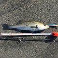 勇釣会 ヒロシさんの三重県四日市市での釣果写真