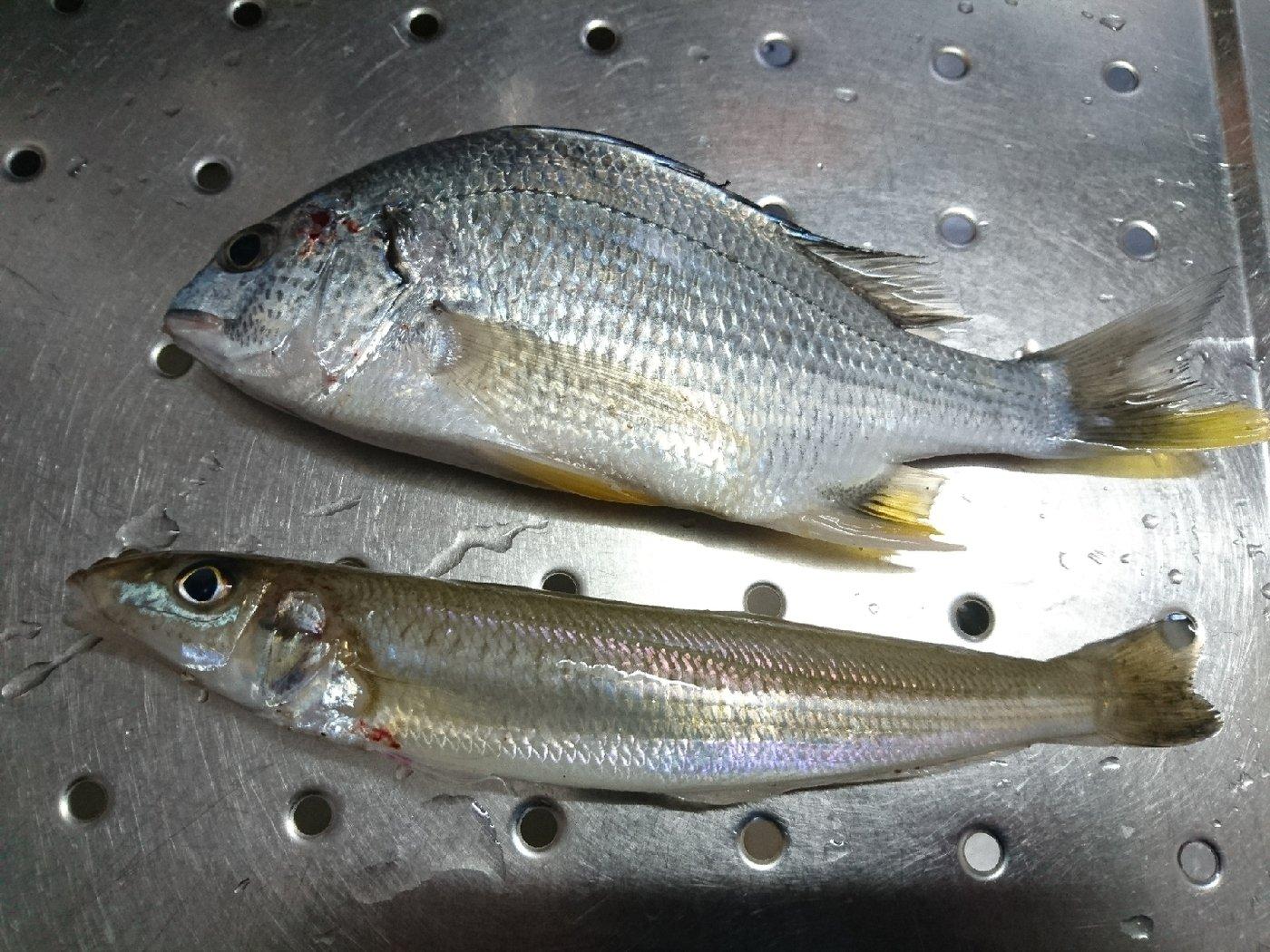 りゅうさんの投稿画像,写っている魚はキチヌ,シロギス