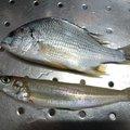 りゅうさんの愛媛県西条市での釣果写真