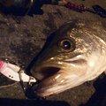 nofishingnolifeさんの東京都での釣果写真