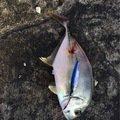 ミナミギンガメアジの写真