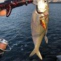 ケンさんの愛媛県西条市での釣果写真