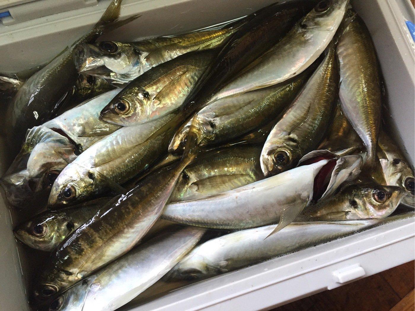 さっとんさんの投稿画像,写っている魚はアジ