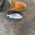 ちんくさらーず/おぎどwさんの沖縄県うるま市での釣果写真