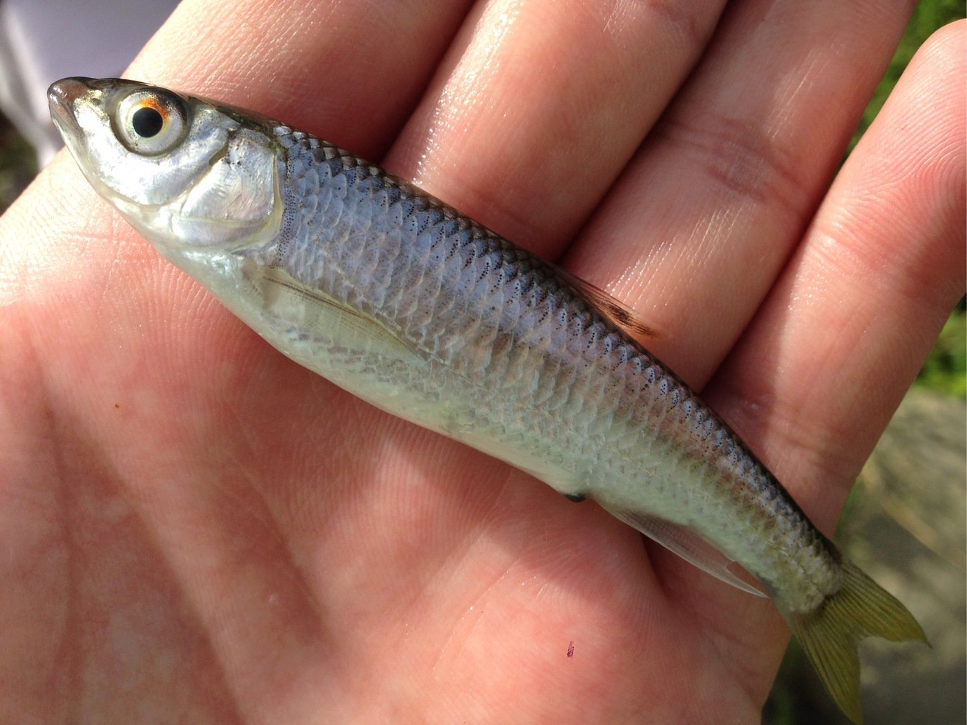 さっとんさんの投稿画像,写っている魚はオイカワ
