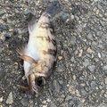 サトシンさんの茨城県東茨城郡での釣果写真