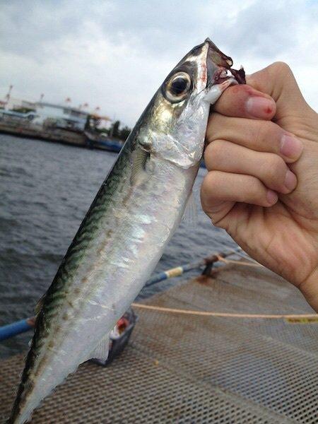 スズキリさんの投稿画像,写っている魚はマサバ