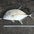 たまたまさんの沖縄県でのロウニンアジの釣果写真