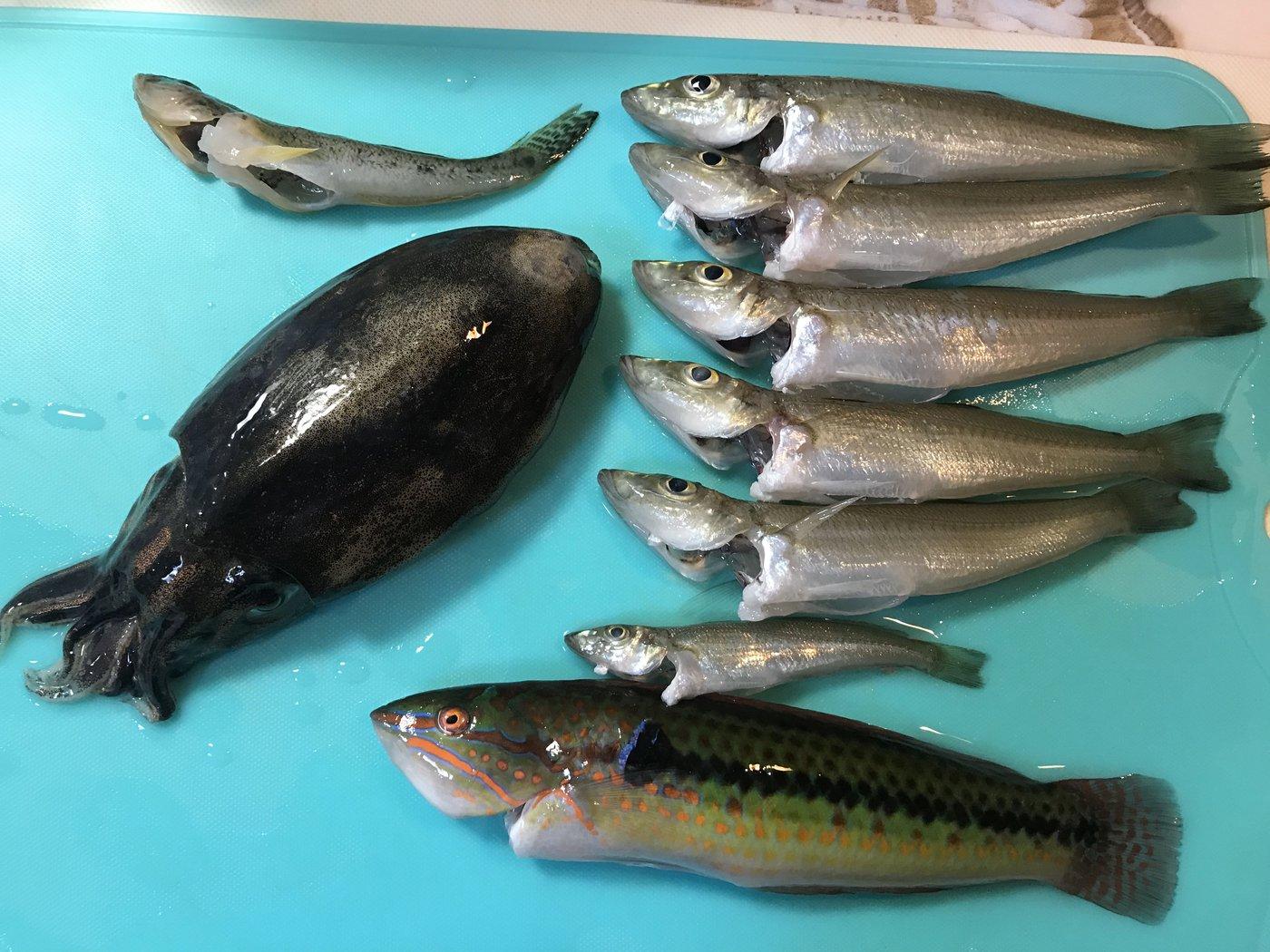 -さんの投稿画像,写っている魚はコウイカ,シロギス,キュウセン,マハゼ