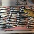 たもとふさんの神奈川県でのマサバの釣果写真