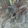 イッパイアッテナさんの兵庫県明石市でのマダコの釣果写真