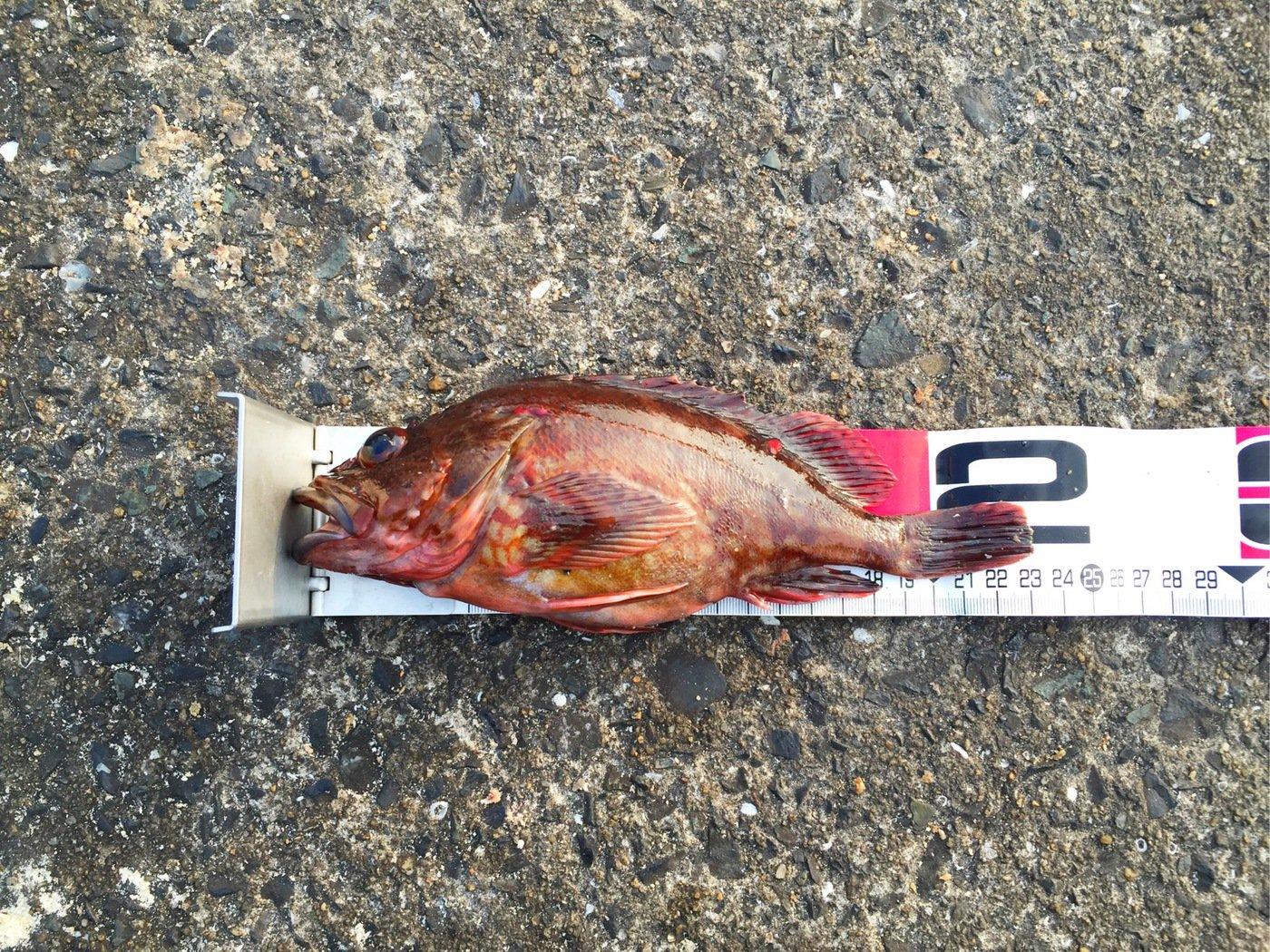 machouseさんの投稿画像,写っている魚はカサゴ