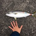 りょうさんの宮崎県延岡市での釣果写真