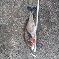 ドテチン3さんの千葉県習志野市でのクロダイの釣果写真