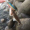 ヤマトさんの大阪府泉南市での釣果写真