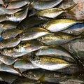 トニさんの香川県東かがわ市での釣果写真