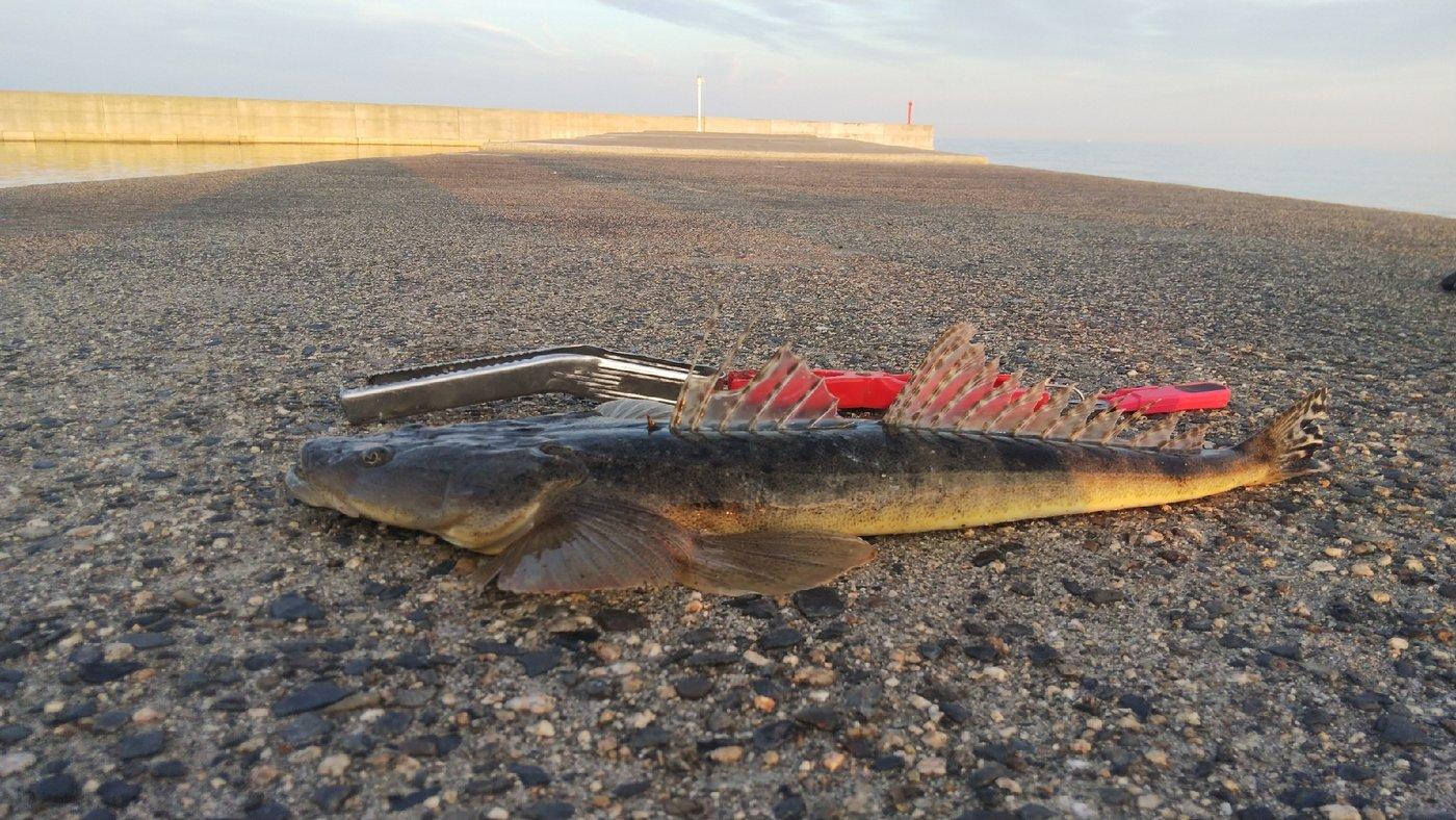 Mr.Flat😆kingさんの投稿画像,写っている魚は,マツバゴチ
