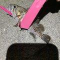 つりぴょんさんの秋田県での釣果写真