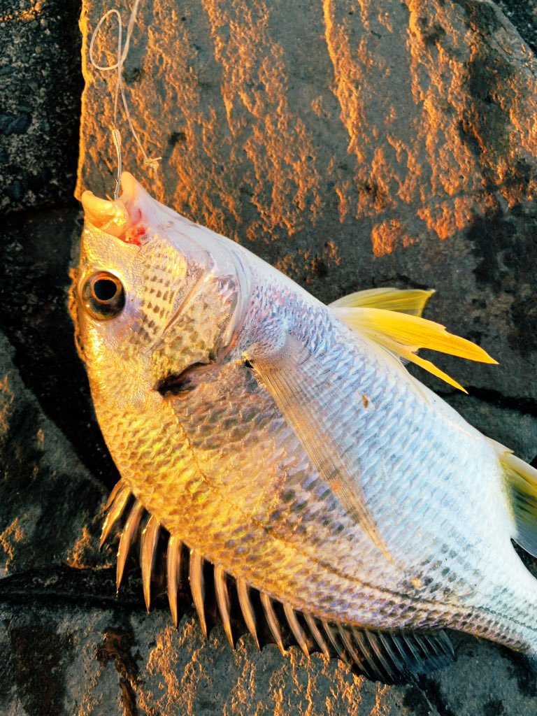 名無しの森@中堅さんの投稿画像,写っている魚はヘダイ