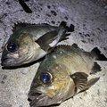たらこさんの山口県大島郡での釣果写真