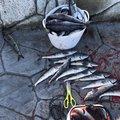 とりりさんの北海道でのホッケの釣果写真