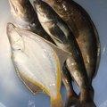 kathuさんの北海道でのホッケの釣果写真