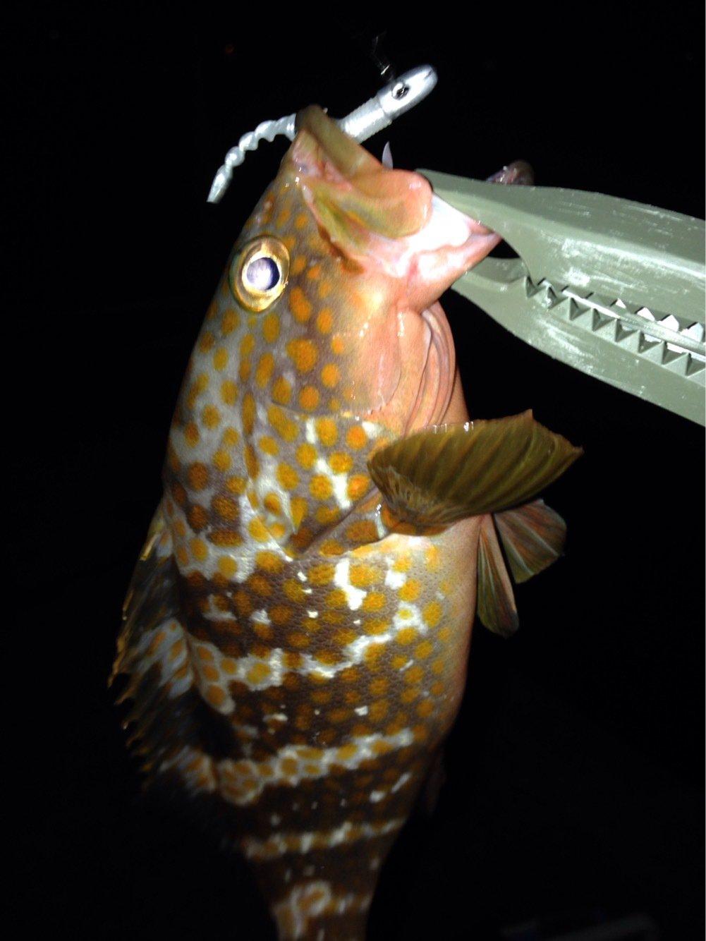 りょうさんの投稿画像,写っている魚はキジハタ