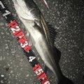 hachiさんの千葉県富津市での釣果写真