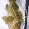 カチュアさんの北海道岩内郡での釣果写真