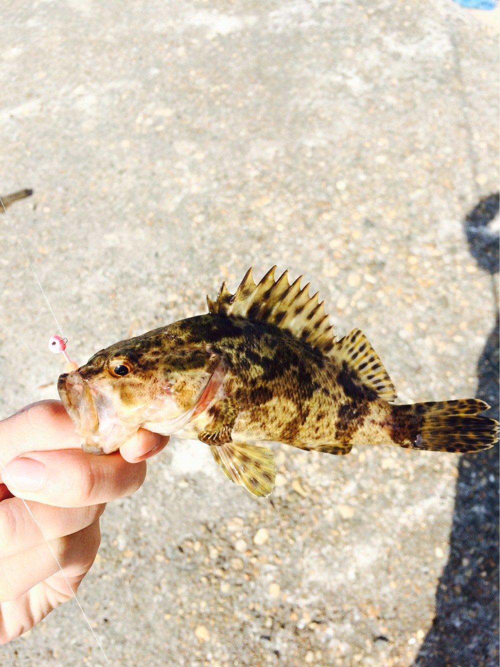 ikaさんの投稿画像,写っている魚はタケノコメバル