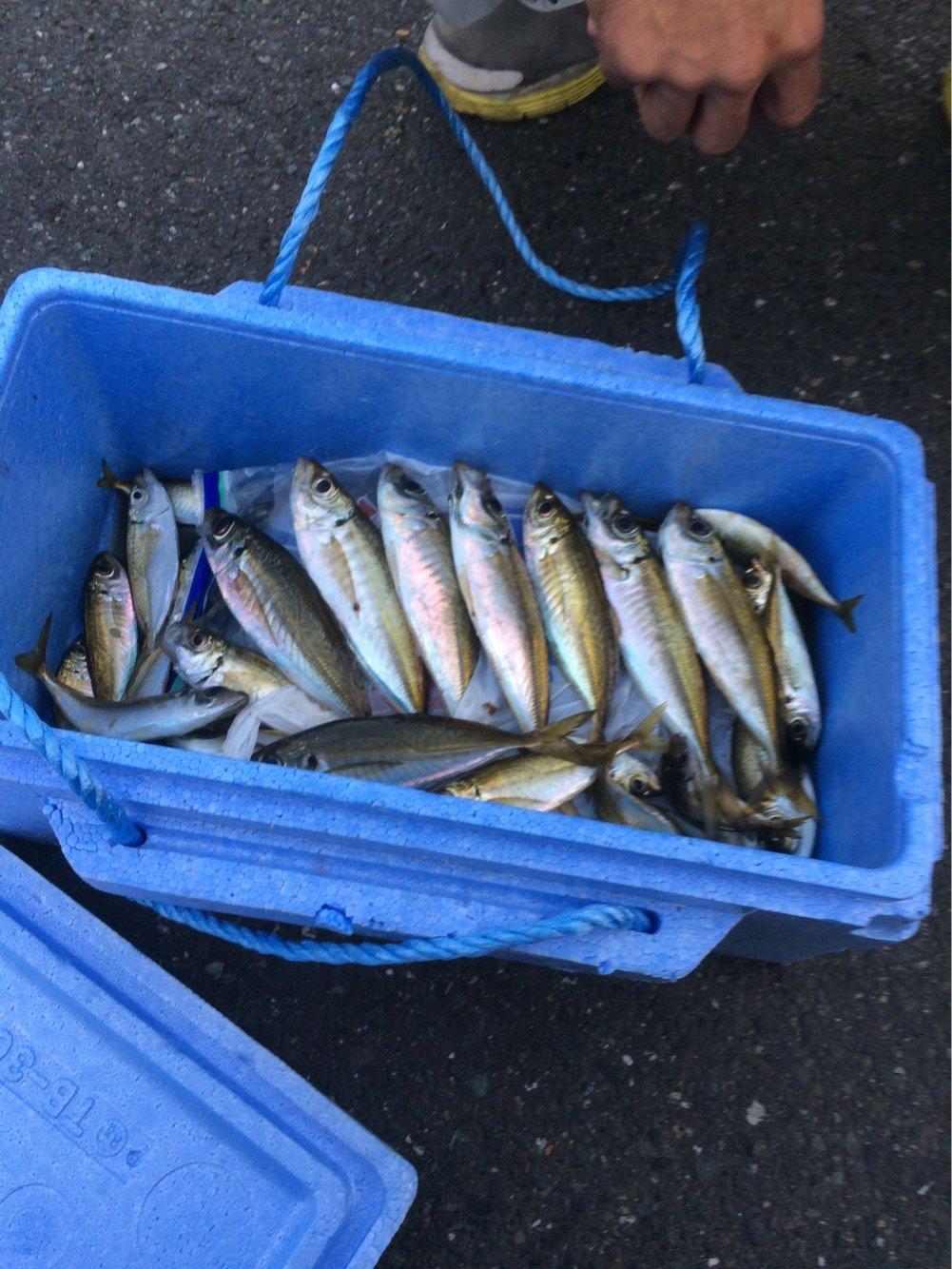 ikaさんの投稿画像,写っている魚はアジ