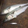 フィッシュドランカーさんの福井県での釣果写真