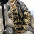 たかさんさんの愛知県でのタケノコメバルの釣果写真