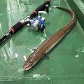 吉岡 大来さんのアナゴの釣果写真