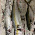 ダーシーさんの佐賀県での釣果写真