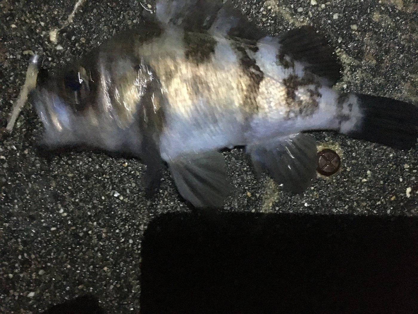 10-06さんの投稿画像,写っている魚はメバル