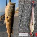 りゅさんの千葉県浦安市でのスズキの釣果写真