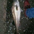 Zackeyさんの千葉県浦安市でのスズキの釣果写真
