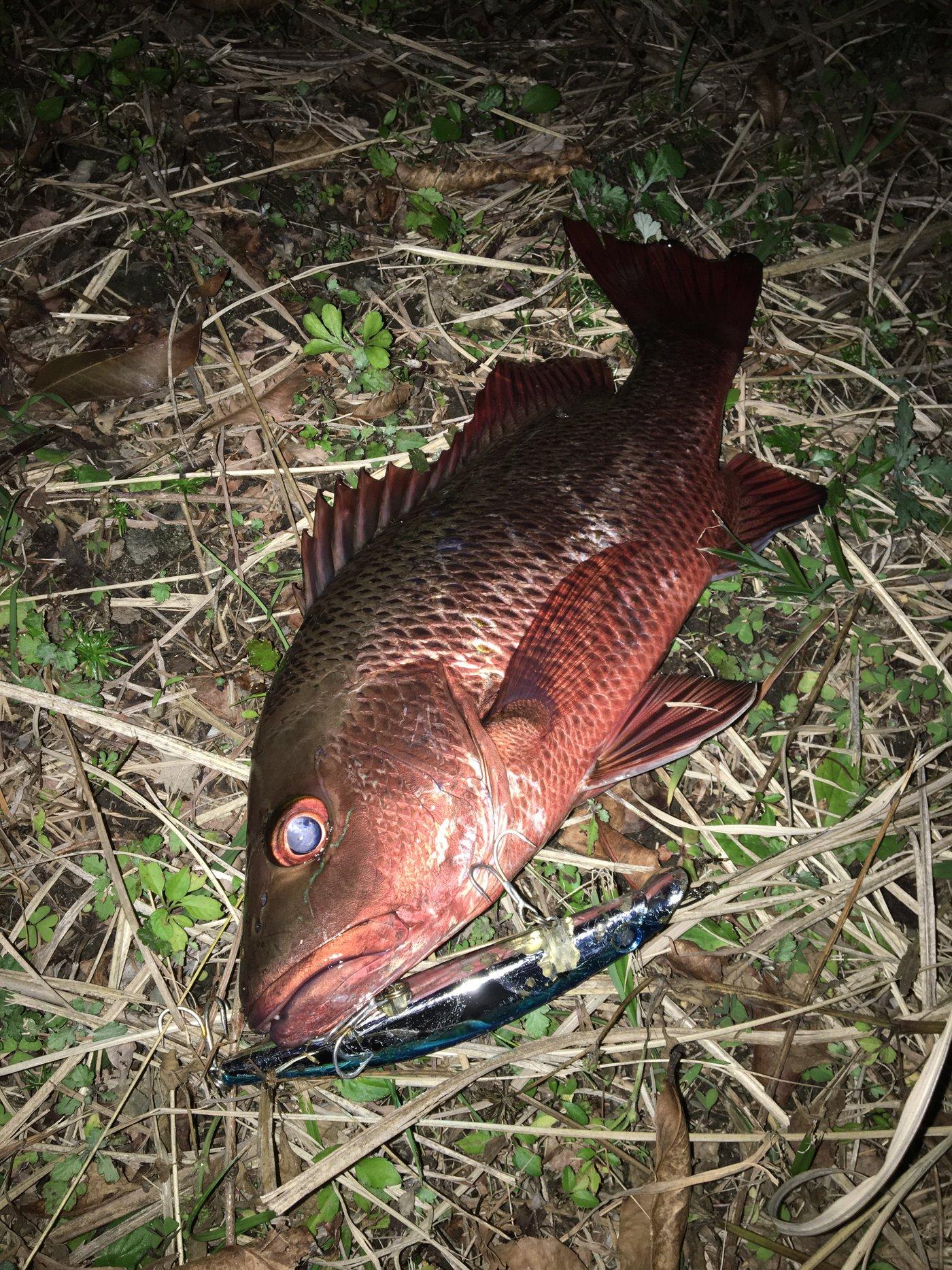tkyさんの投稿画像,写っている魚はゴマフエダイ