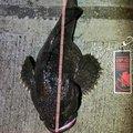 ぽぎーさんのカジカの釣果写真