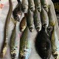 ちひろさんの愛媛県松山市での釣果写真