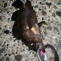 カサゴニゴさんの千葉県富津市での釣果写真