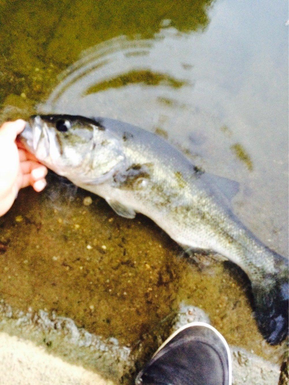 ikaさんの投稿画像,写っている魚はブラックバス