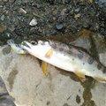 ああとさんの和歌山県日高郡での釣果写真