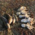 釣りキチ七平さんのマダコの釣果写真